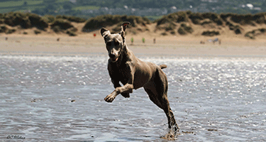 Fizz Leaping Along The Beach.
