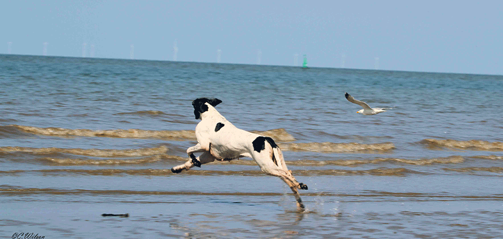 A Pointer, On The Beach, Leaping Towards A Seagull.