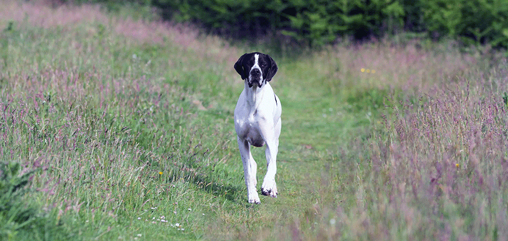 A Pointer Walking Through A Field, Towards Us.