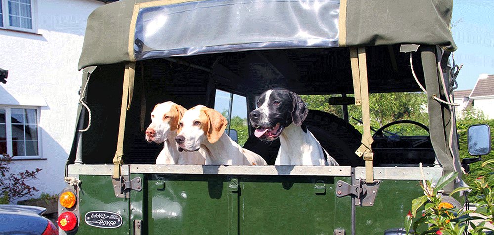 Three Of Ours Pointers In The Van, Ready For Work!