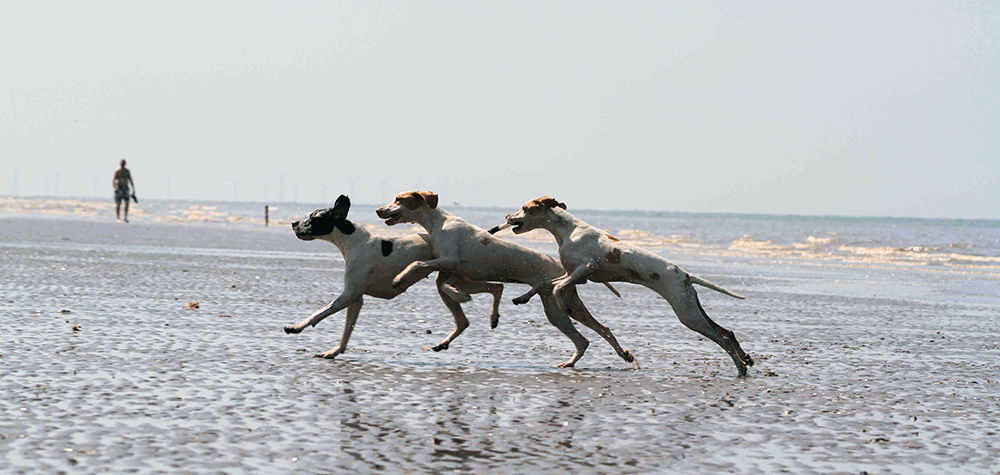 A Pointer Jumping Into The Sea.